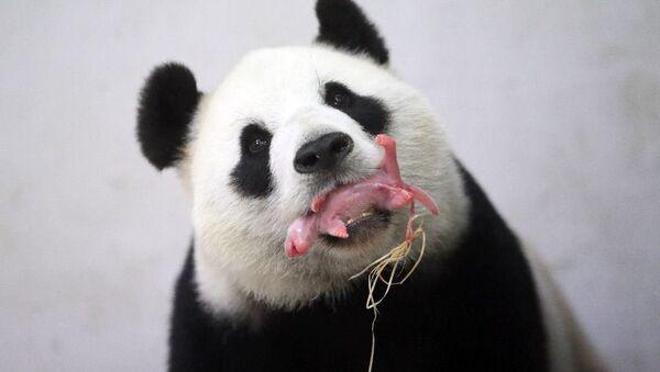 Belçika'ya Çin'den getirilen Hao Hao isimli bir panda, dün bir yavru dünyaya getirdi. - Sputnik Türkiye