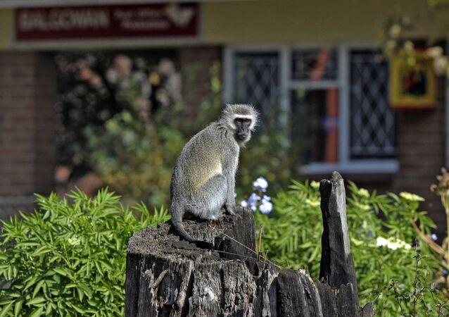 Kenya'da sıklıkla görülen vervet maymunu.