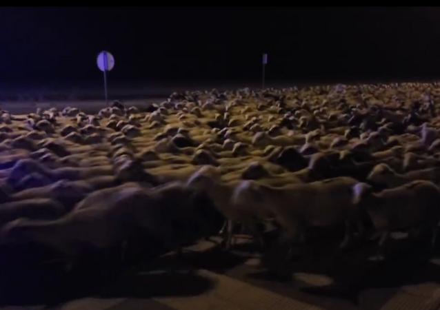 Çoban uyuyakaldı, koyunlar kenti ele geçirdi.