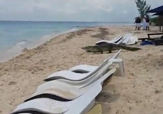 Meksika sahillerine timsah 'çıkarması'