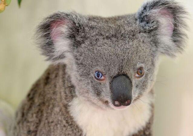 Avustralya'da bulunan gözleri farklı renklerdeki koala