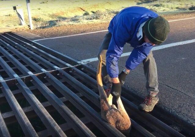 Mazgala sıkışan kanguru için kurtarma operasyonu