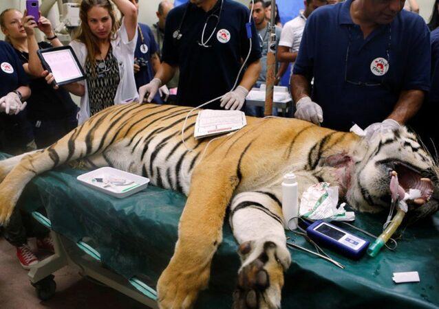 Bengal kaplanı Laziz, hastalandığı zaman Four Paws hayır kurumuna bağlı veterinerler tarafından tedavi edilmişti