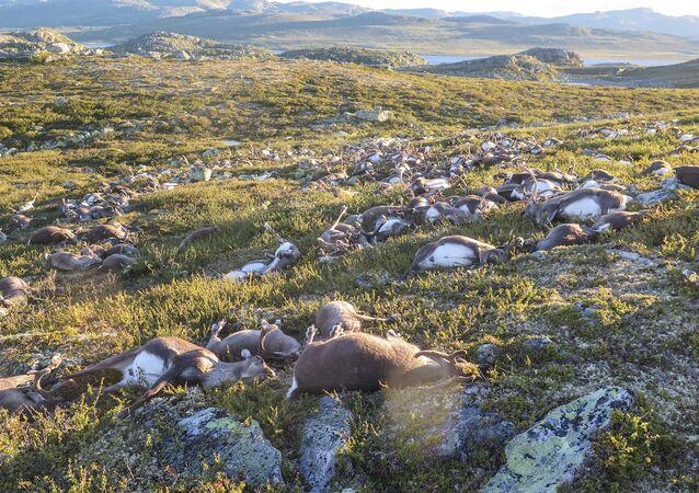 Norveç'in Telemark kasabasındaki Hardangervidda dağlarında yüzlerce ren geyiği yıldırım düşmesi nedeniyle öldü.