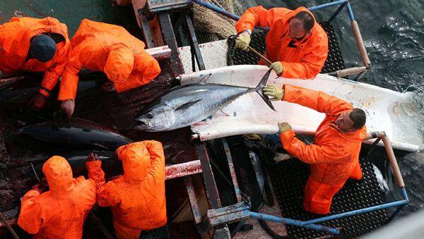 Hırvatistan'da yakalanan devasa ton balığı - Sputnik Türkiye