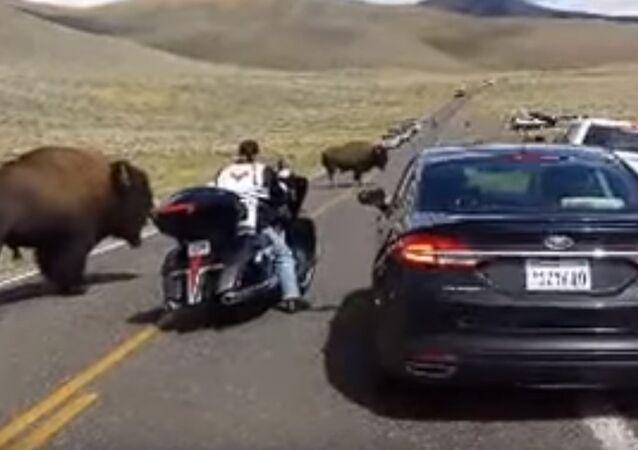 Issızlığın ortasında trafik karmaşası: Bufalolar motorsikletli kadını sıkıştırdı