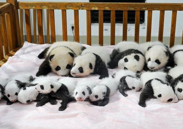 Yeni doğan pandalar