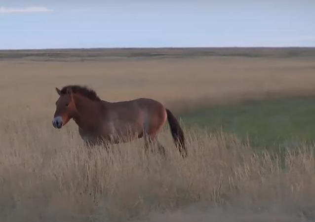 Rusya Devlet Başkanı Vladimir Putin, Orenburg bölgesindeki doğal yaşam parkına gerçekleştirdiği ziyaret sırasında Moğol yaban atı olarak da bilinen Prezewalski yaban atlarını doğaya saldı.