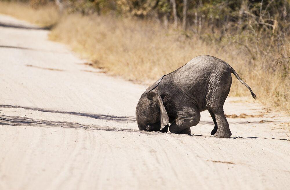 Zimbabwe'de yüzünü yere gömen bir fil