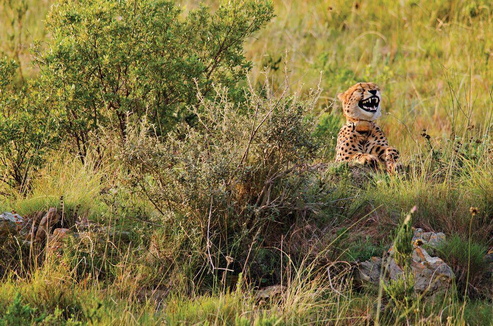 Durtton Robert'in görüntülediği Güney Afrika'da bir çita