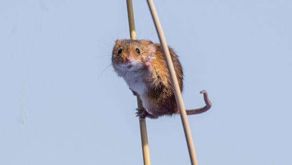 İngiltere'deki 'tahta bacak' fare - Sputnik Türkiye
