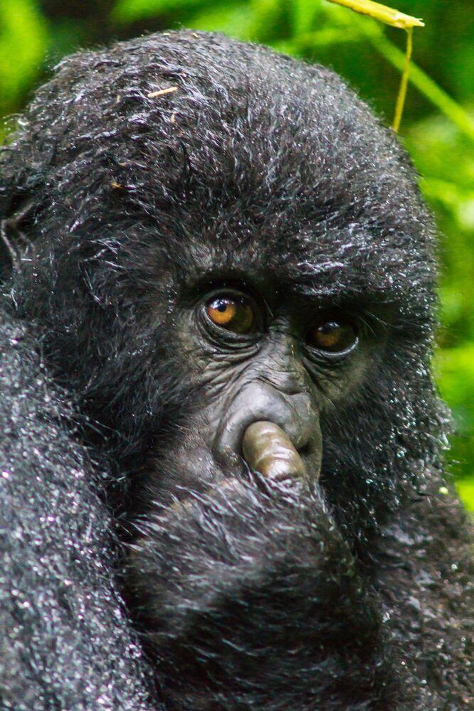 Rwanda'da burnunu karıştırırken yakalanan bir goril
