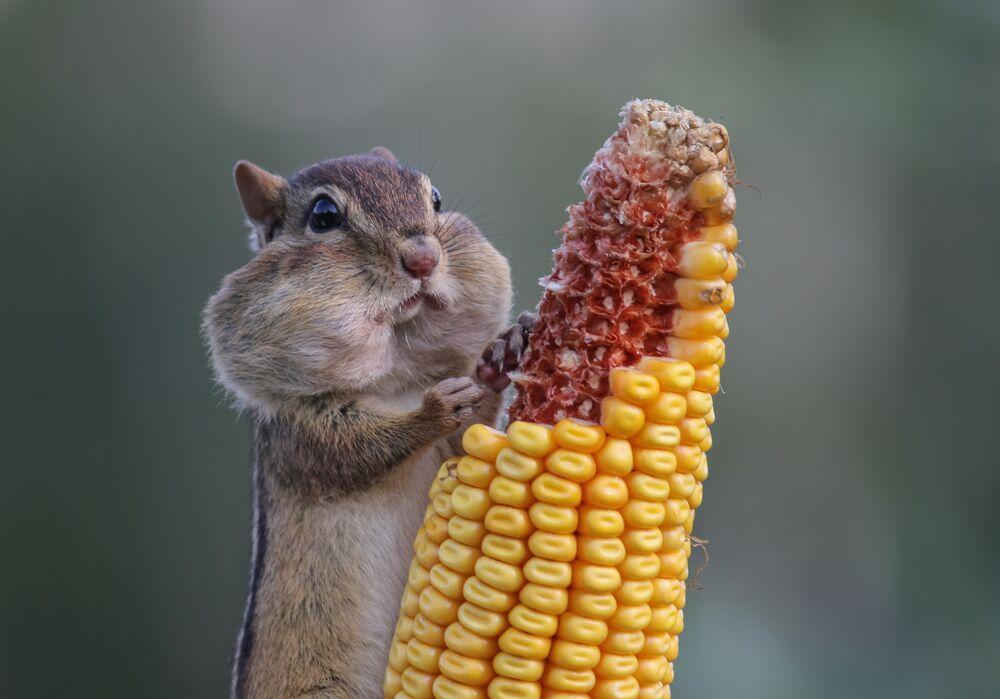 Kanada'daki stokçu sincap