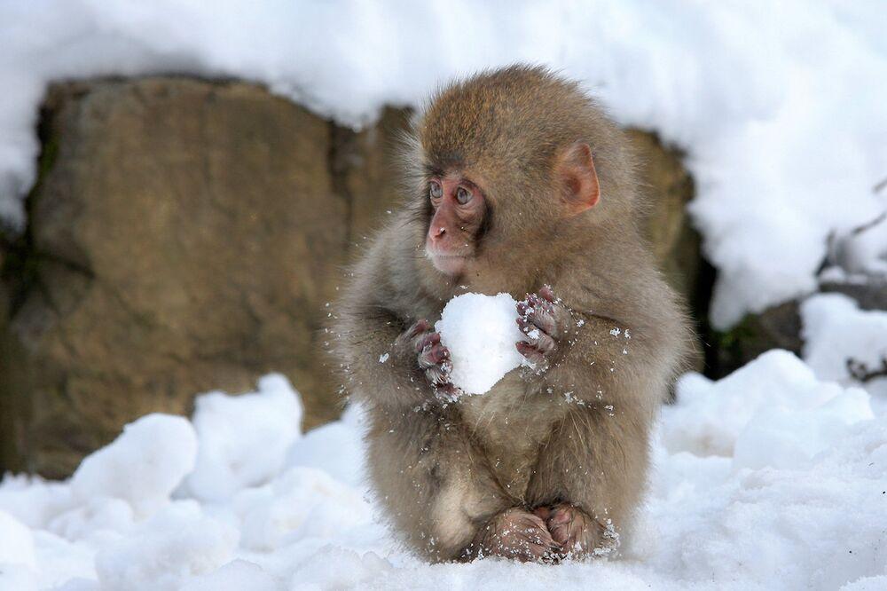 Japonya'da kartopu yapan maymun