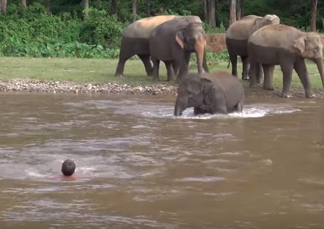 Tayland'daki Fil Doğam Yaşam Parkı'nda 5 yaşındaki Kham Lha isimli bir fil, nehirde boğulduğunu sandığı bakıcısı Darrick Thomson'ı kurtarmak için suya atladı.