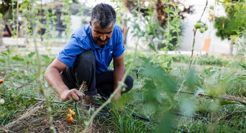 Midilli'deki sığınmacılar, ada halkına teşekkür etmek için sebze yetiştiriyor.
