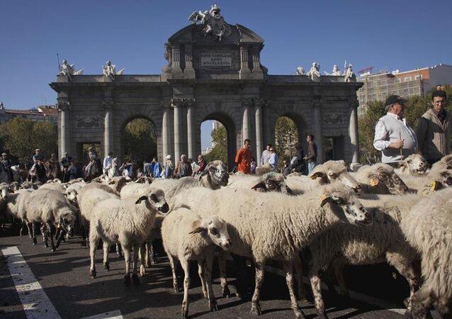 Madrid-koyun
