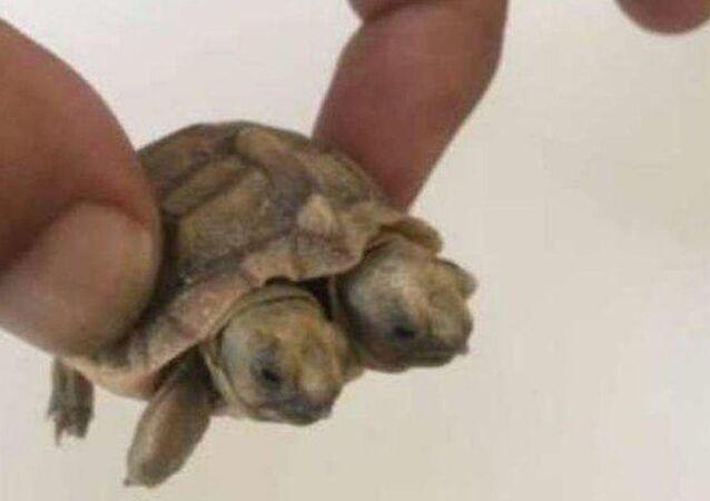 İran'da iki başlı kaplumbağa dünyaya geldi.
