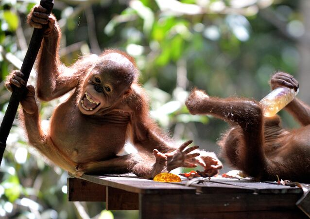 Endonezya'da koruma altındaki bir bebek orangutan