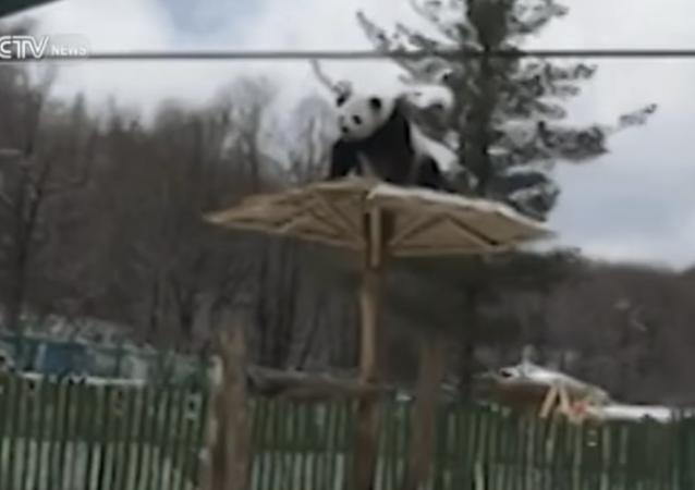 İlk kez kar gören panda döne döne takla attı