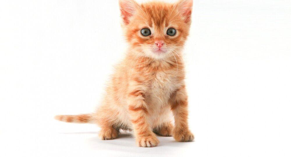 ABD'nin seçilmiş Başkanı Donald Trump'ı 'yavru kediye çeviren' Google Chrome eklentisi yapıldı