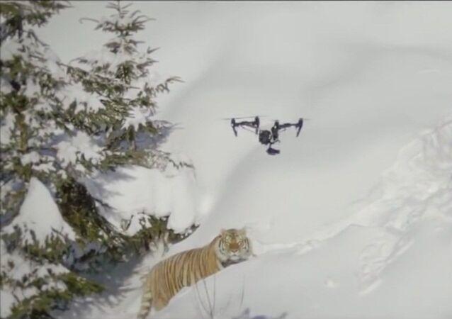 Sibirya kaplanlarının İHA'a saldırma çabaları kamerada