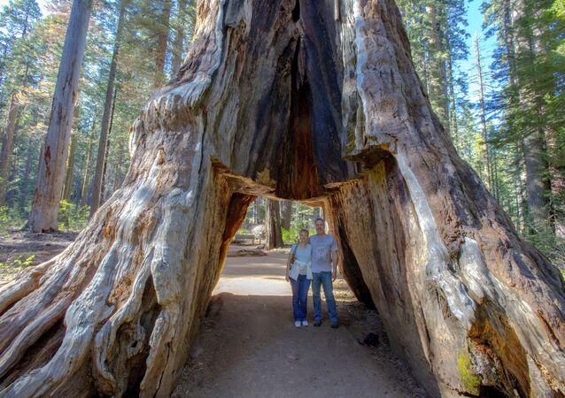 'Tünel Ağacı'