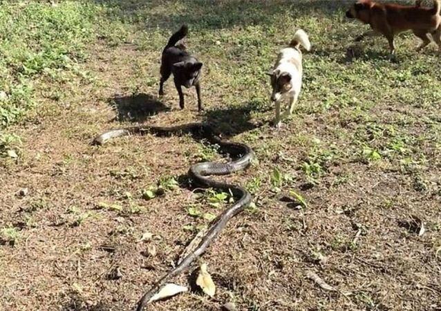 köpekler - kobra (video haber)