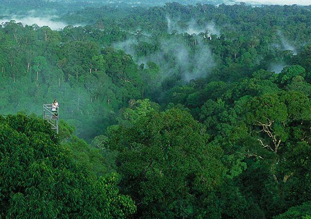 Brunei ormanları