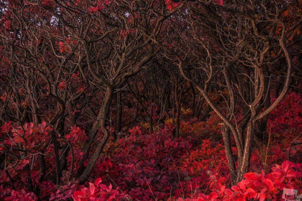 Sonbaharda kıpkırmızı olan bu orman hayretler içinde bırakıyor.