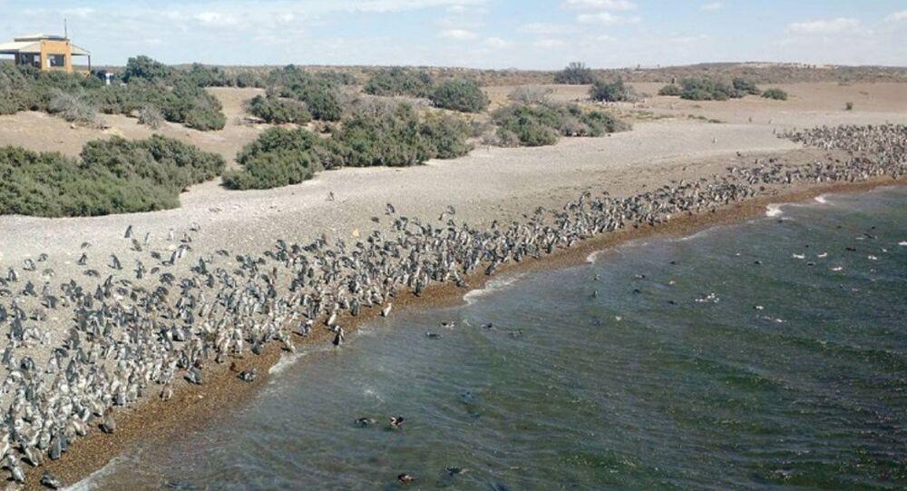 Arjantin sahilleri penguenler