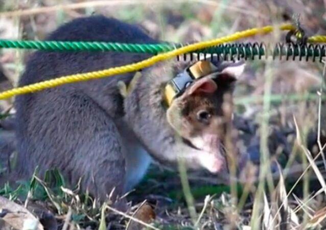 mayın avcısı fare