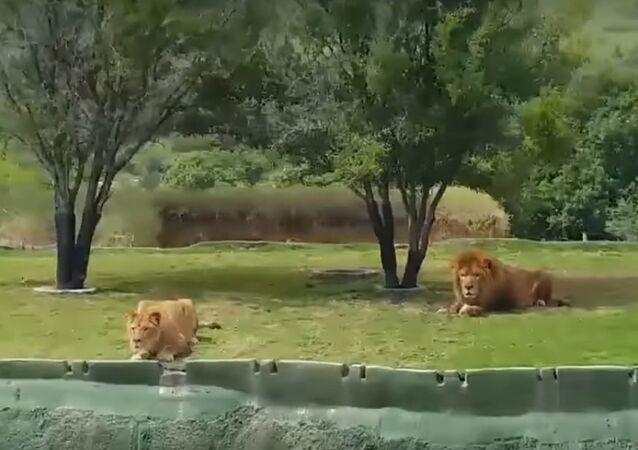 Meksika aslan
