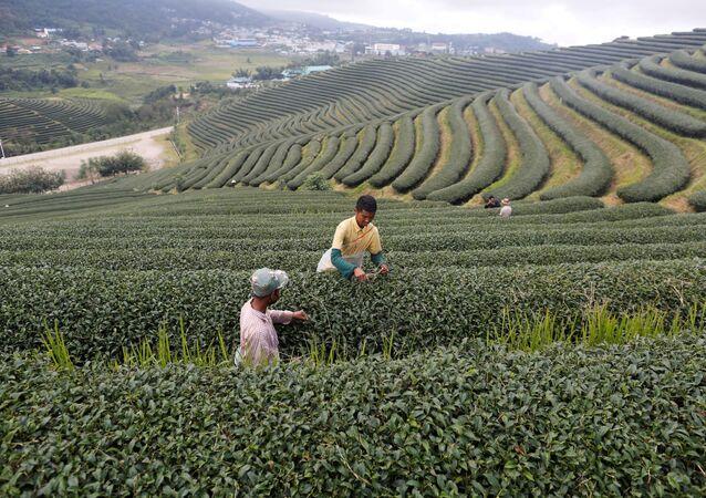 Çay tarlası