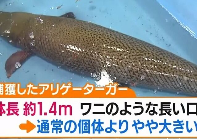 Japonya'da 1.4 metre uzunluğunda bir timsah balığı yakalandı