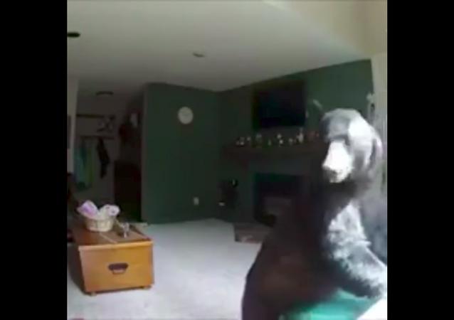 Hırsızlık için bir eve giren ayı, piyano 'çaldı'