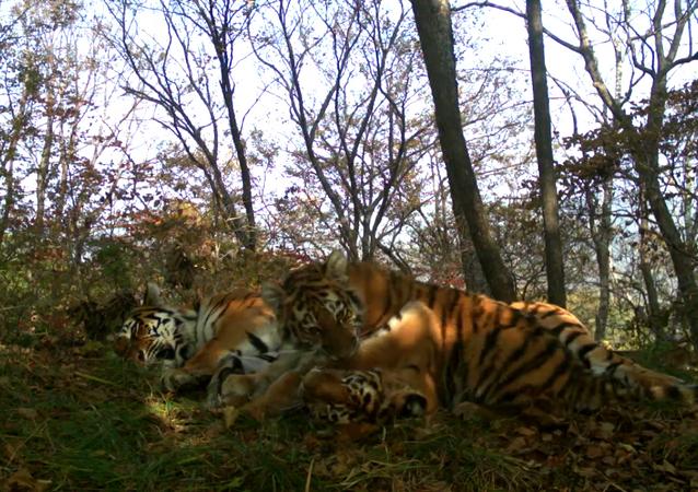 Primorskiy'de anne kaplan ve yavruları kameraya poz verdi