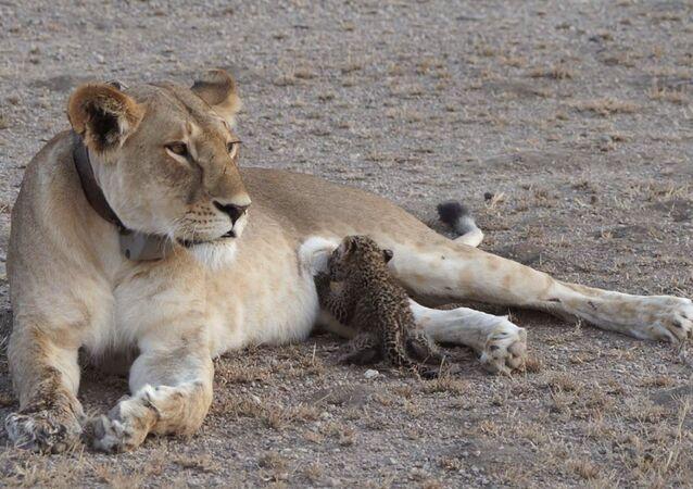 Tanzanya'da bir aslan, yavru leopara sütannelik yaparken görüntülendi