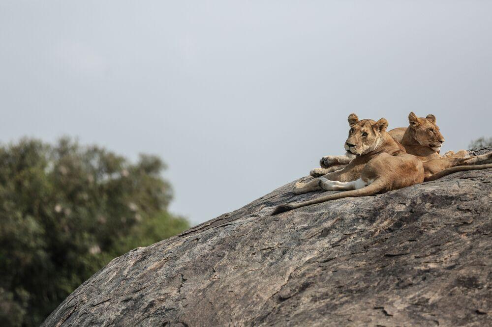 Tanzanya'da aslan yavruları