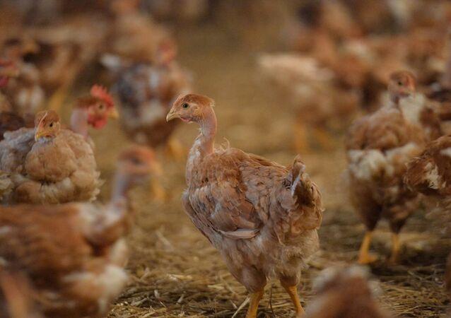Tavuk üretimi - GDO