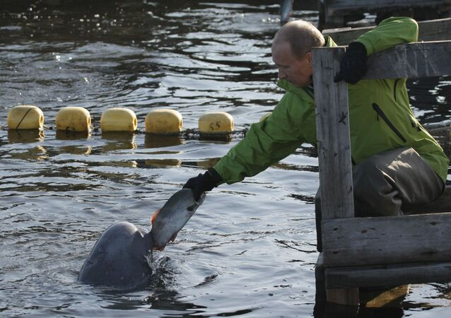 Rusya Devlet Başkanı, Okhotsk Denizi'ndeki Çkalov Adası'nda yetiştirilen beyaz balina besliyor.
