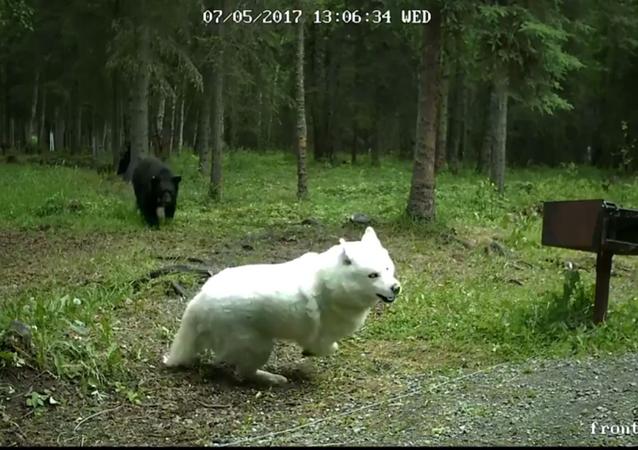 Köpeğine saldıran ayıyı korkuttu
