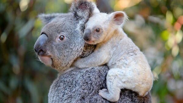 Avustralya'da doğan nadir rastlanan beyaz renkli koala yavrusu - Sputnik Türkiye