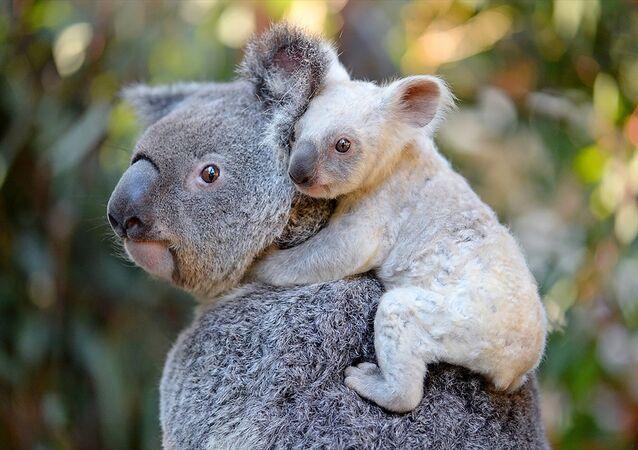 Avustralya'da doğan nadir rastlanan beyaz renkli koala yavrusu