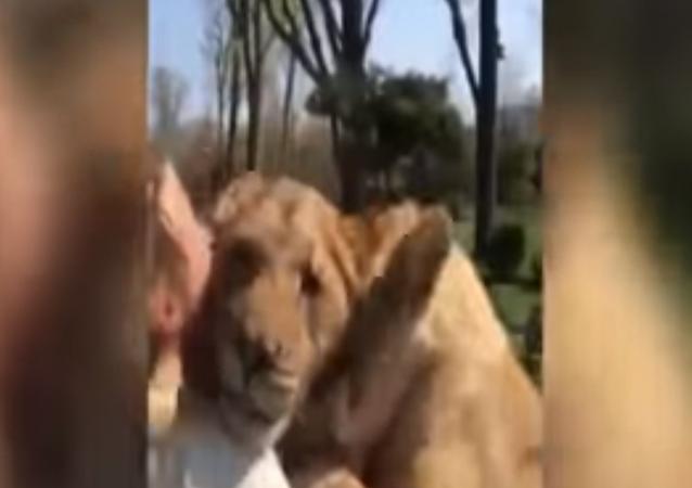Aslanlar, 7 yıl görmedikleri ilk sahiplerini böyle karşıladı
