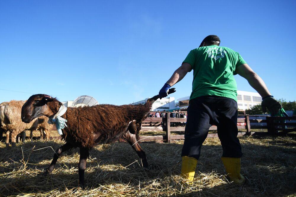 Tataristan Cumhuriyeti'nin başkenti Kazan'daki kurbanlık hayvan kesim tesisinde kurbanlık koyunlar.