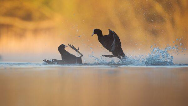 'Kuş Davranışı' kategorisinin ödülünü kazanan Andrew Parkinson'un fotoğrafı - Sputnik Türkiye