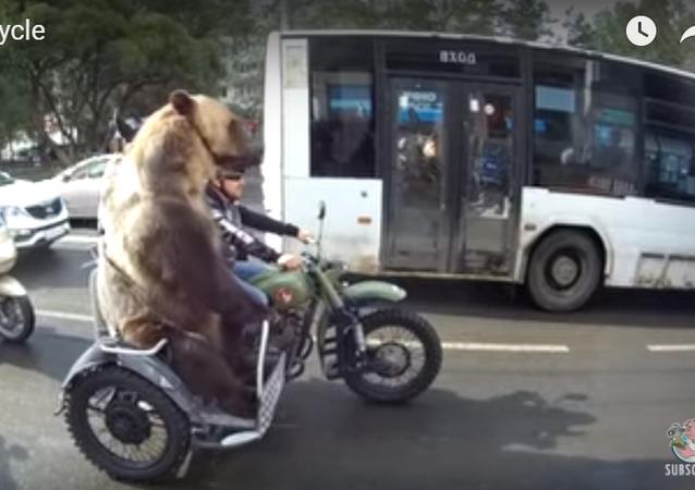Rusya'nın Vologda kentinde bir ayı beraberindeki motosikletli grupla trafiğe takıldı. Sürüş sırasında borazan da çalanlan ayı ilgi odağı oldu.
