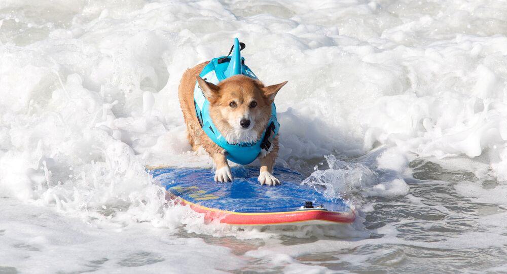 Sörf- Köpek