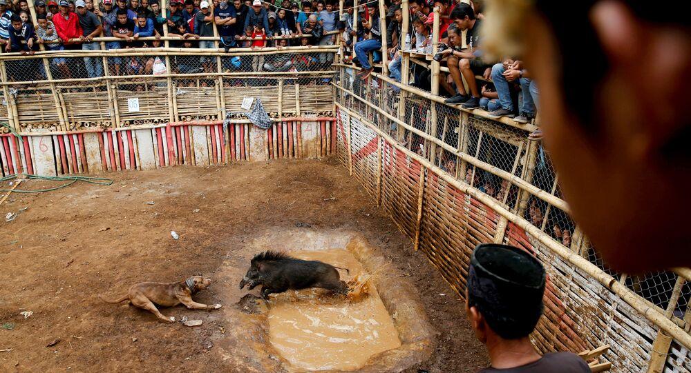 Endonezya'da yaban domuzlarının köpeklere karşı çıkarıldığı dövüşler oldukça popüler
